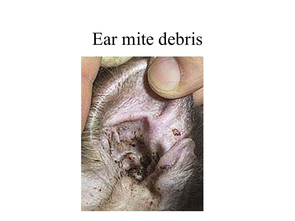 Ear mite debris