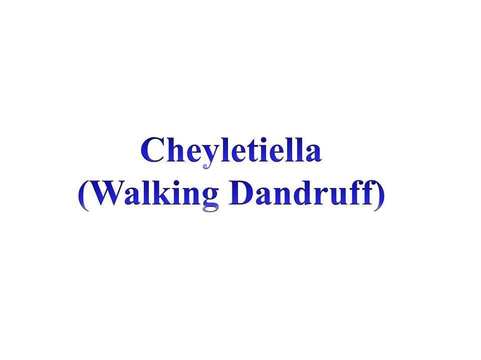 Cheyletiella (Walking Dandruff)