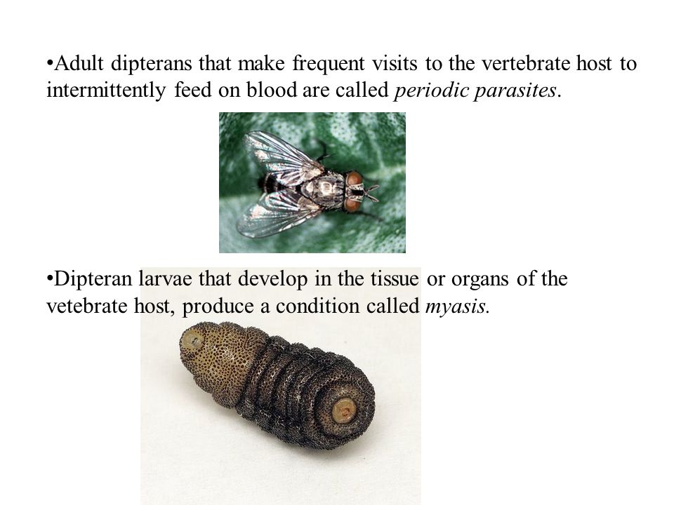 Adult dipterans that make frequent visits to the vertebrate host to intermittently feed on blood are called periodic parasites.