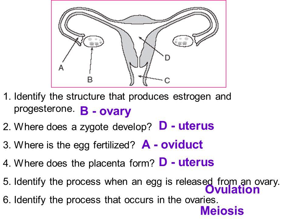 B - ovary D - uterus A - oviduct D - uterus Ovulation Meiosis