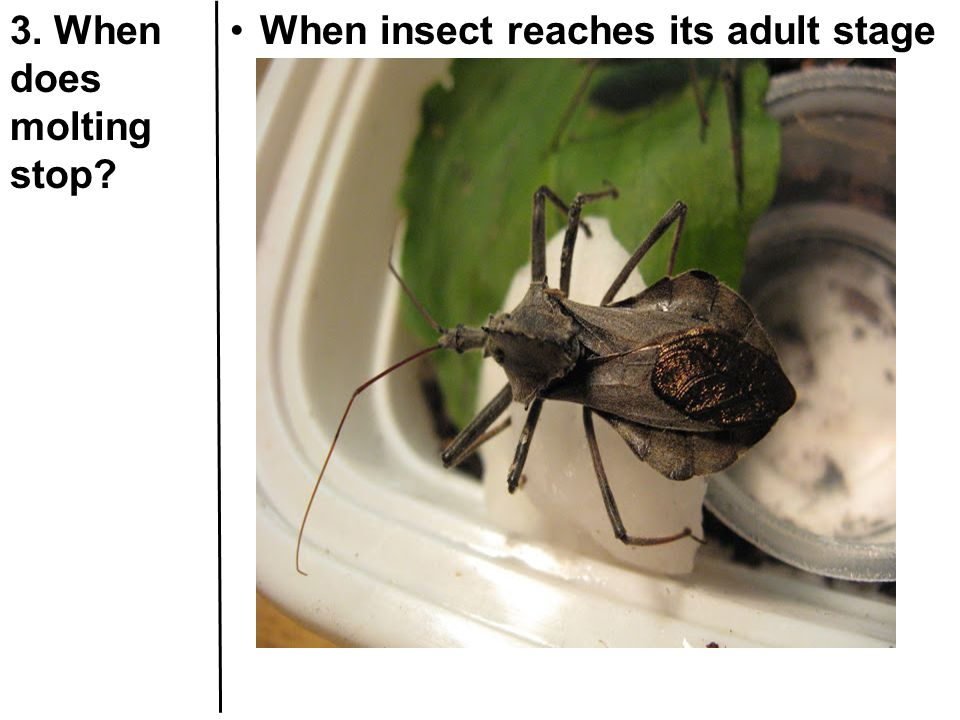 3. When does molting stop When insect reaches its adult stage