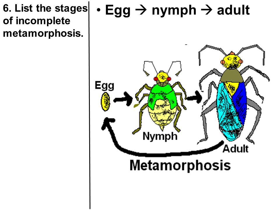 6. List the stages of incomplete metamorphosis.