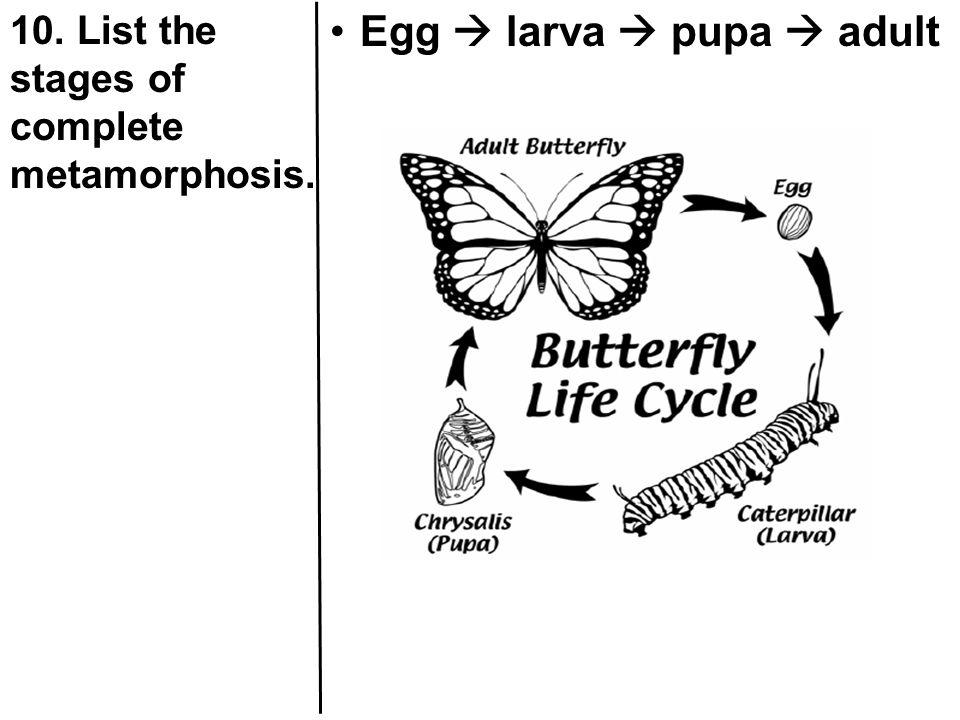 Egg  larva  pupa  adult