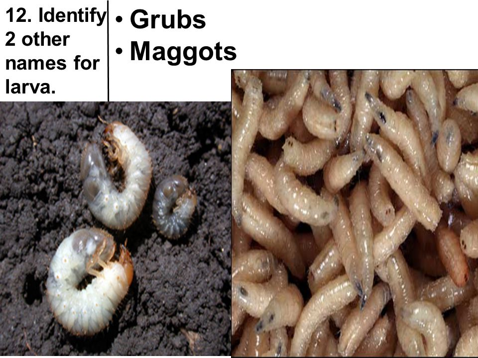 12. Identify 2 other names for larva.