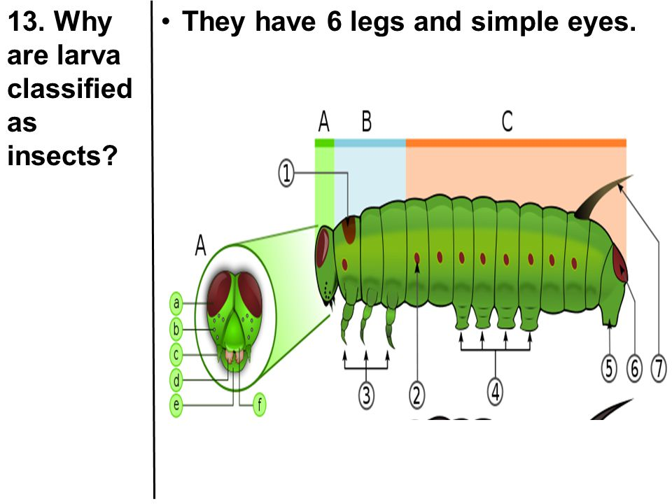 13. Why are larva classified as insects