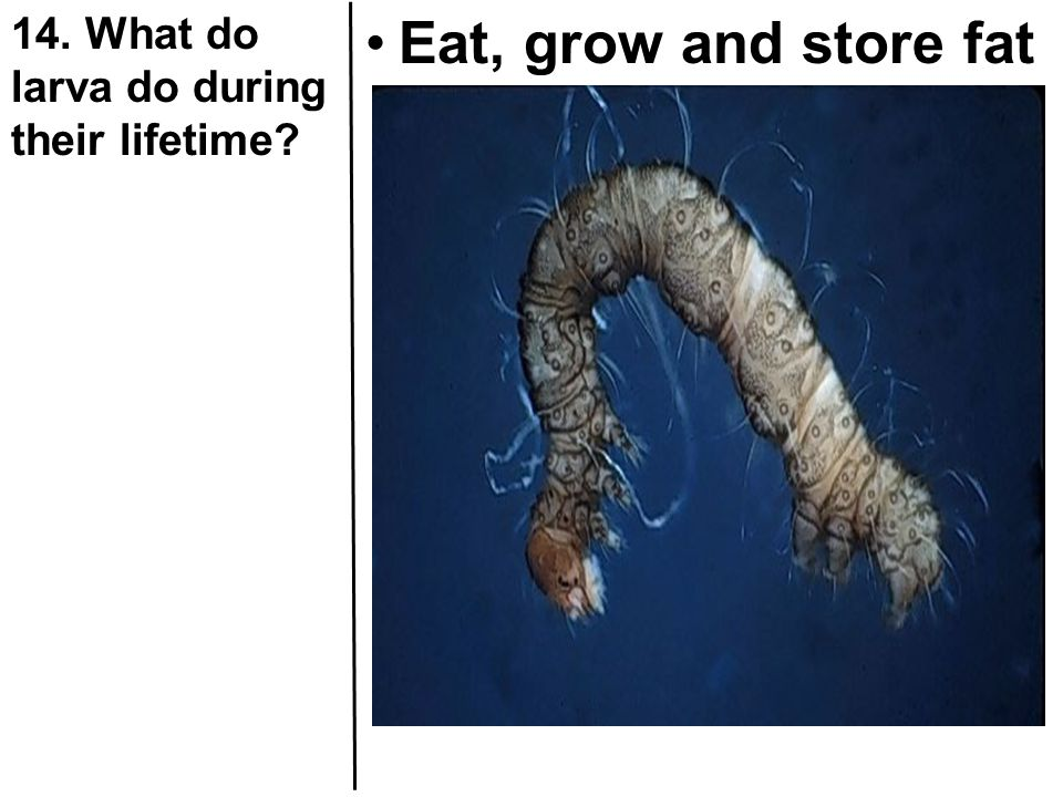 14. What do larva do during their lifetime
