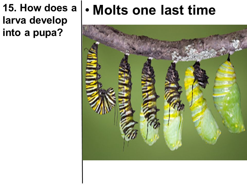 15. How does a larva develop into a pupa
