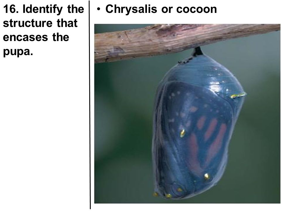16. Identify the structure that encases the pupa.