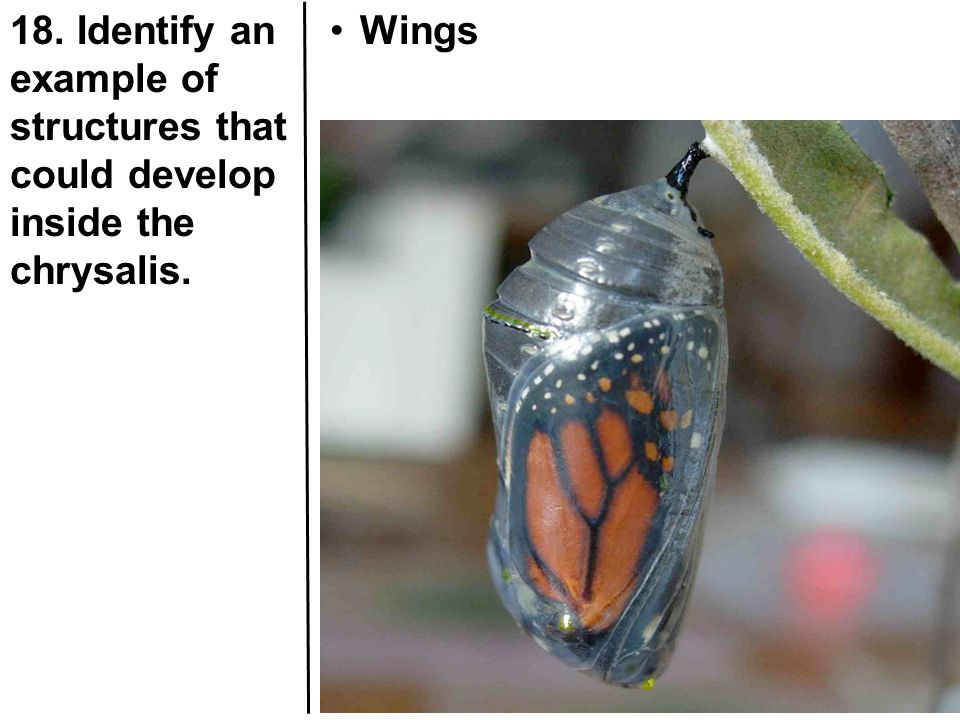 18. Identify an example of structures that could develop inside the chrysalis.