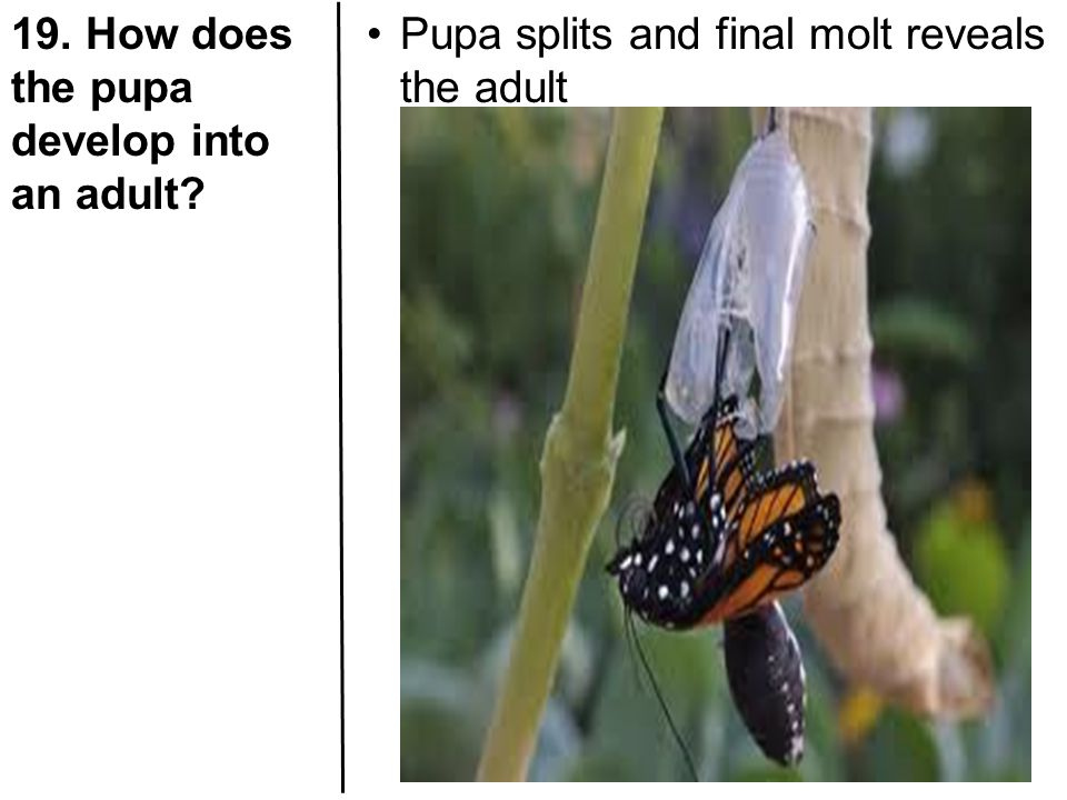 19. How does the pupa develop into an adult