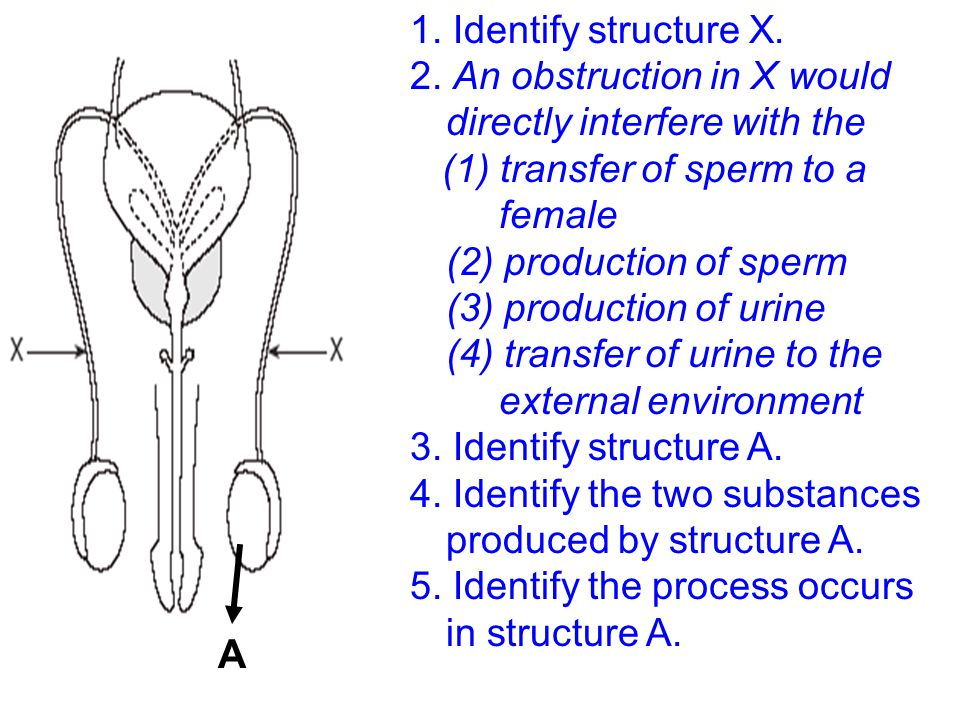 1. Identify structure X. 2. An obstruction in X would directly interfere with the.