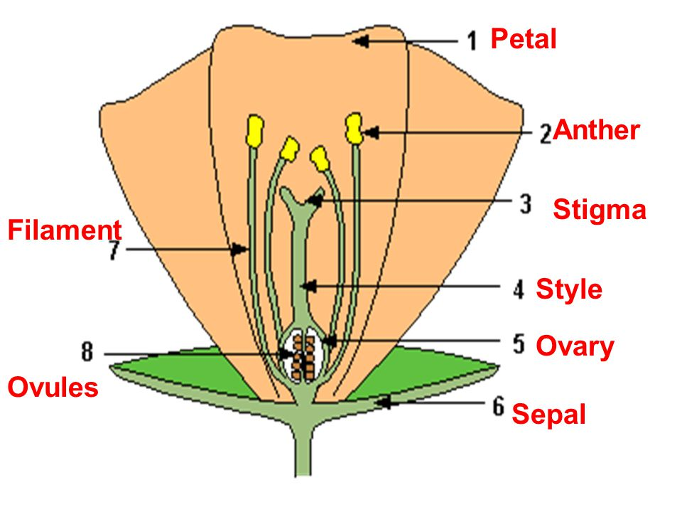 Petal Anther Stigma Filament Style Ovary Ovules Sepal