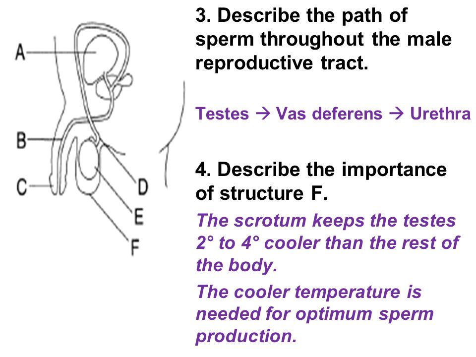 3. Describe the path of sperm throughout the male reproductive tract.