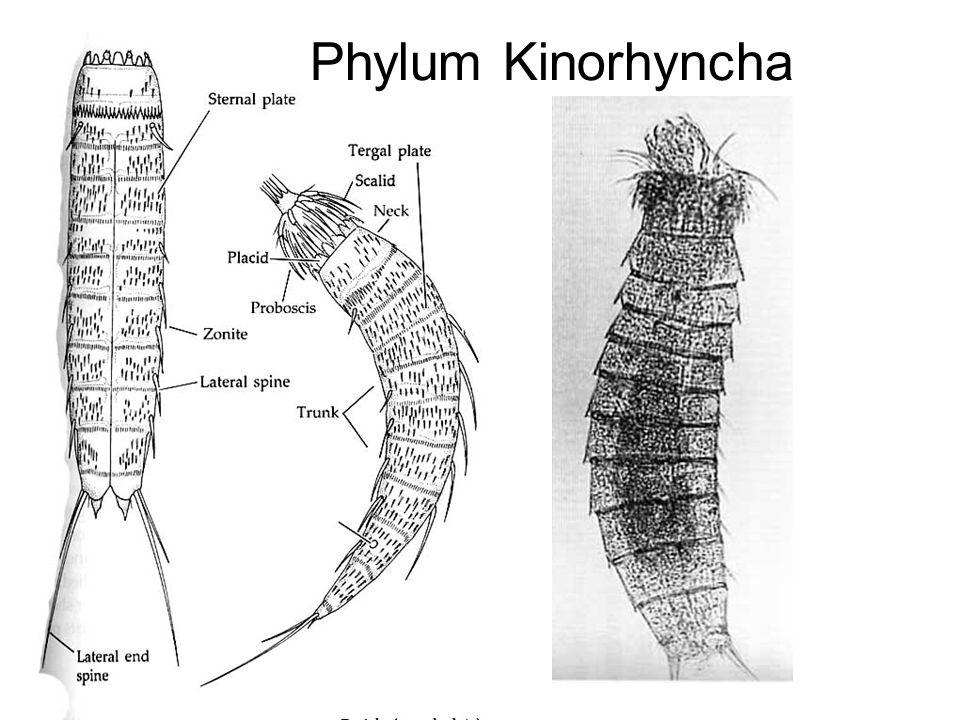 Phylum Kinorhyncha