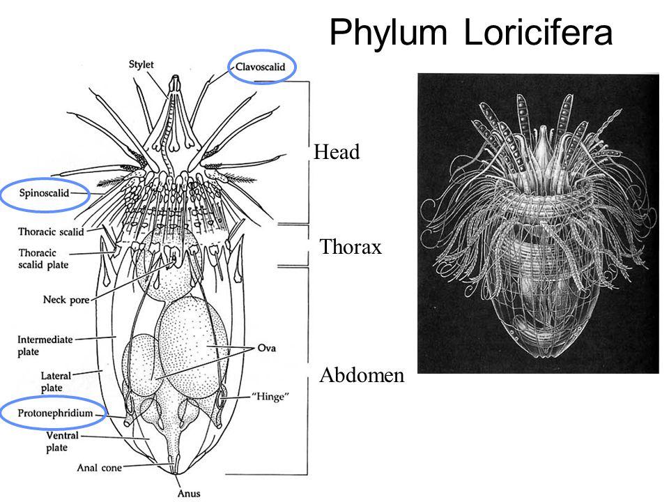 Phylum Loricifera Head Thorax Abdomen