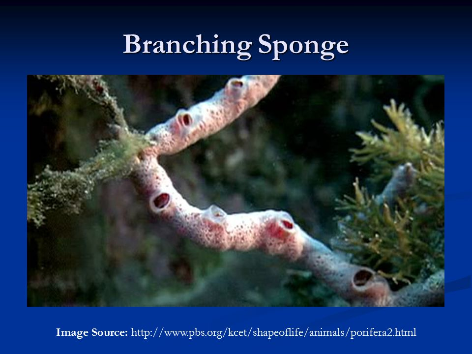 Branching Sponge Image Source: http://www.pbs.org/kcet/shapeoflife/animals/porifera2.html
