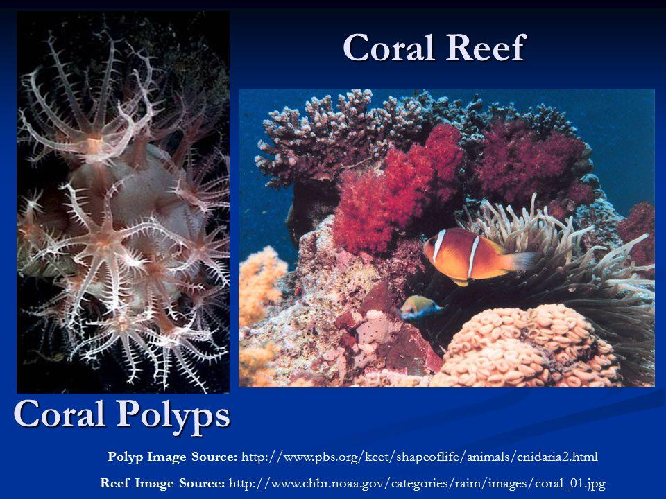 Coral Reef Coral Polyps