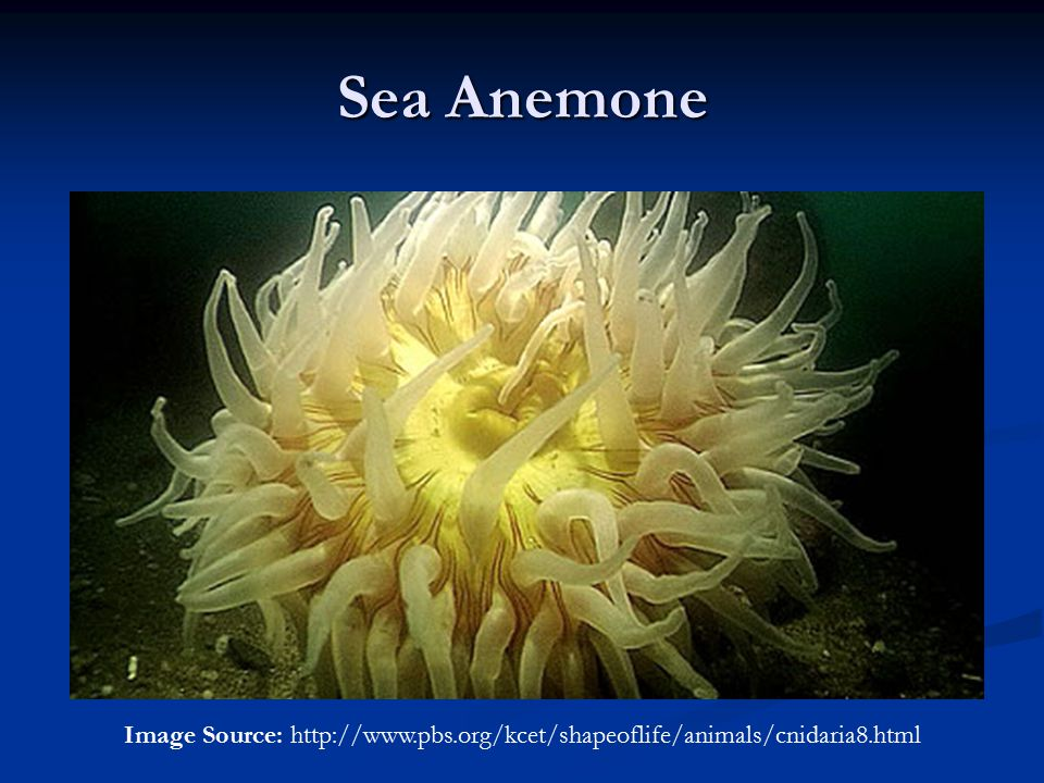 Sea Anemone Image Source: http://www.pbs.org/kcet/shapeoflife/animals/cnidaria8.html