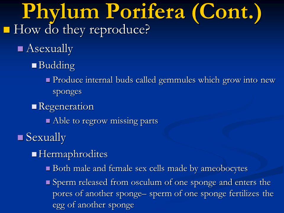 Phylum Porifera (Cont.)