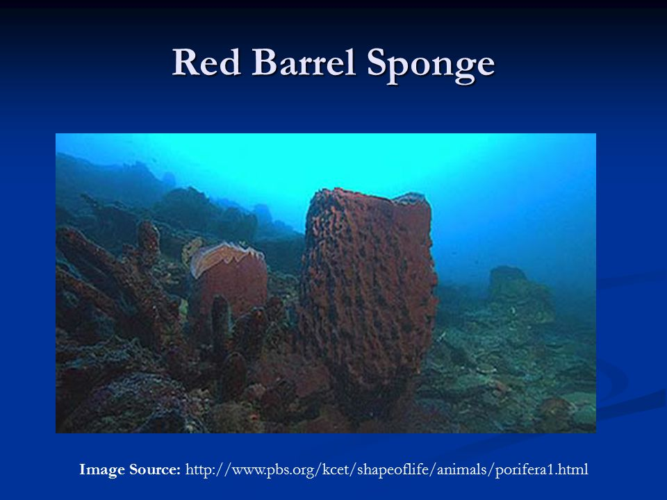 Red Barrel Sponge Image Source: http://www.pbs.org/kcet/shapeoflife/animals/porifera1.html