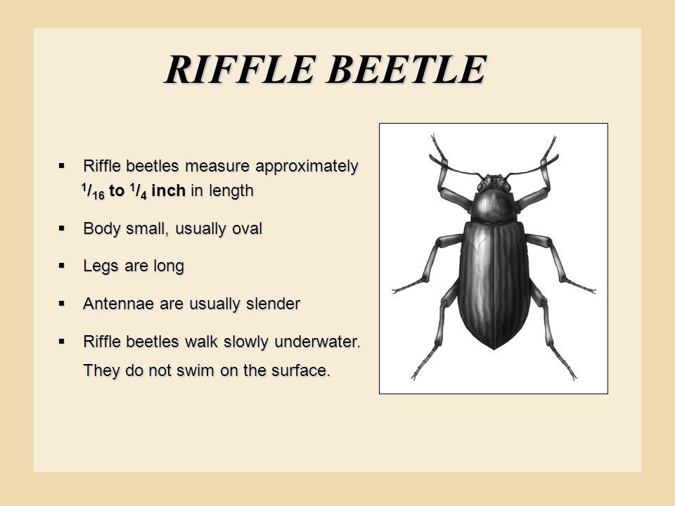 RIFFLE BEETLE Riffle beetles measure approximately