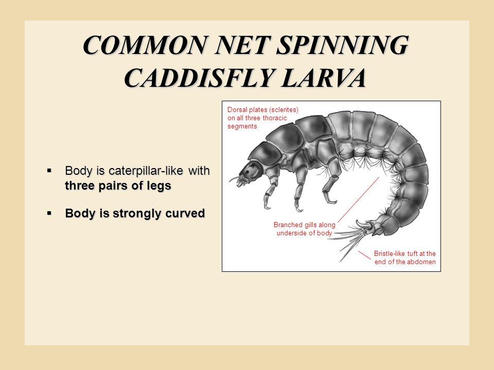 COMMON NET SPINNING CADDISFLY LARVA