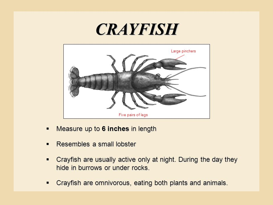CRAYFISH Measure up to 6 inches in length Resembles a small lobster