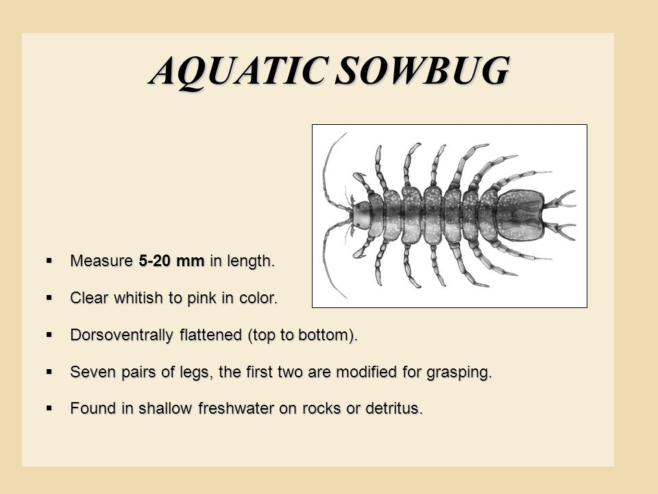 AQUATIC SOWBUG Measure 5-20 mm in length.