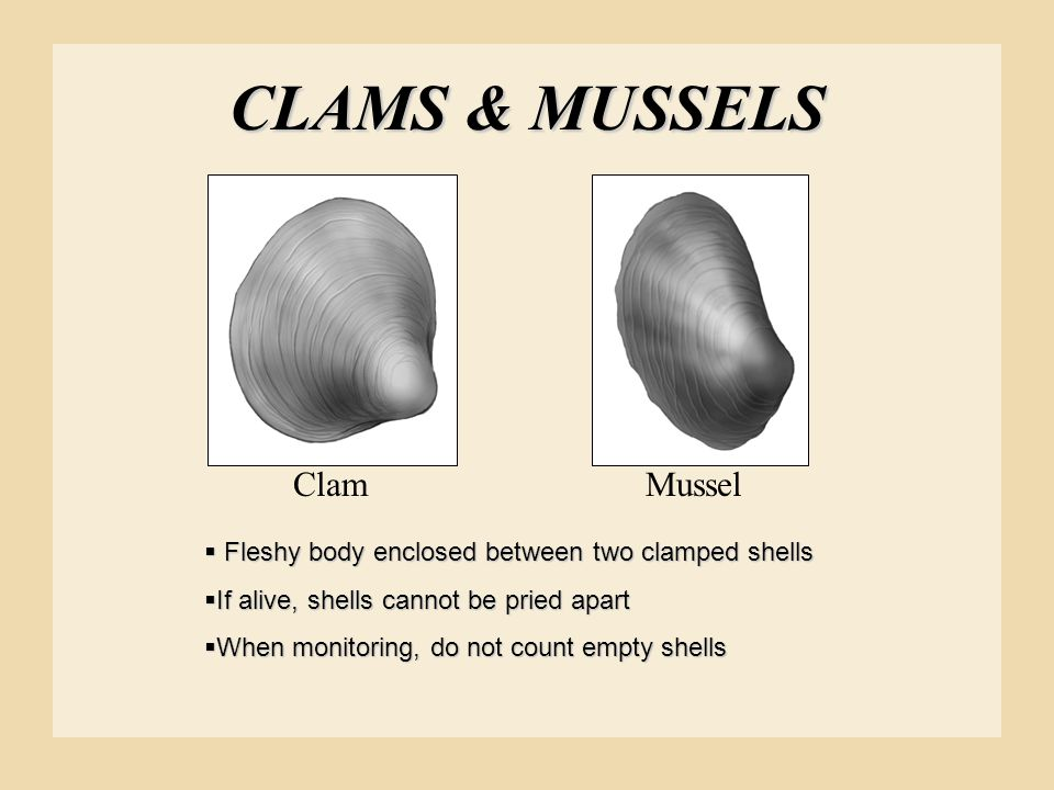 CLAMS & MUSSELS Clam Mussel