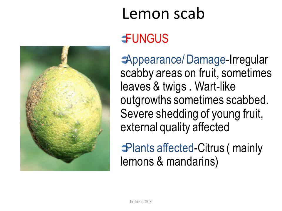 Lemon scab FUNGUS.