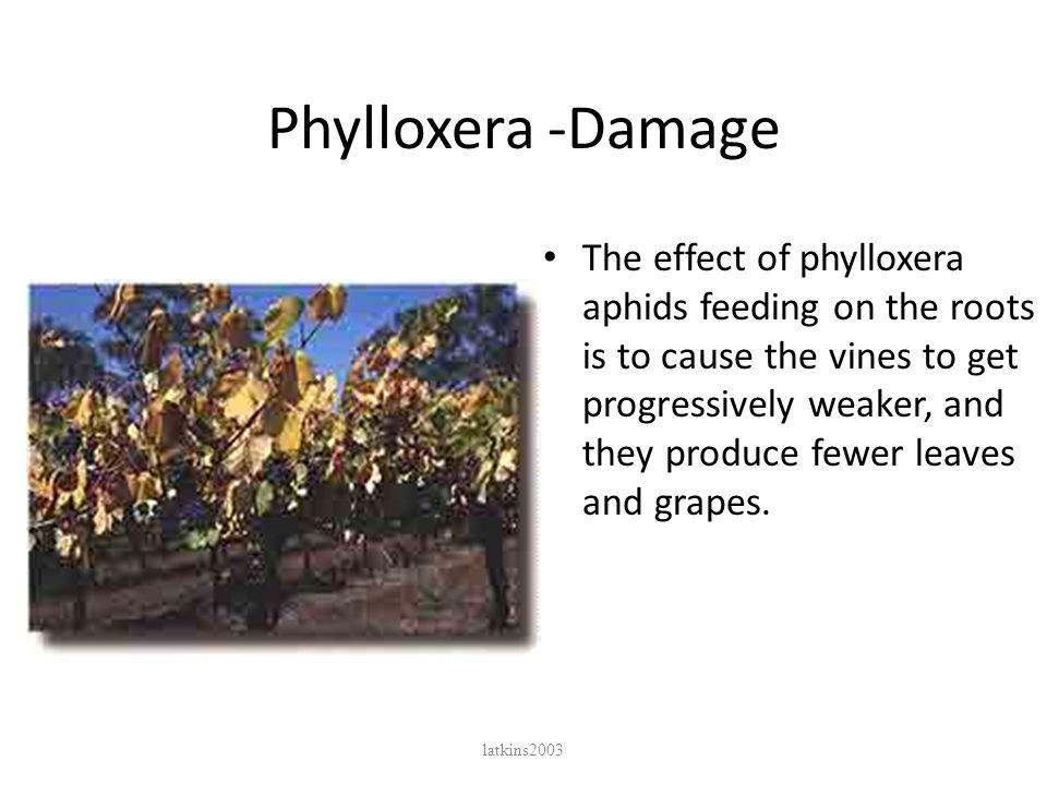 Phylloxera -Damage