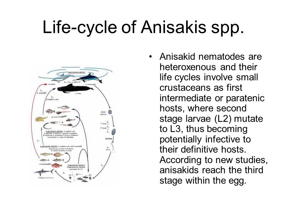 Life-cycle of Anisakis spp.