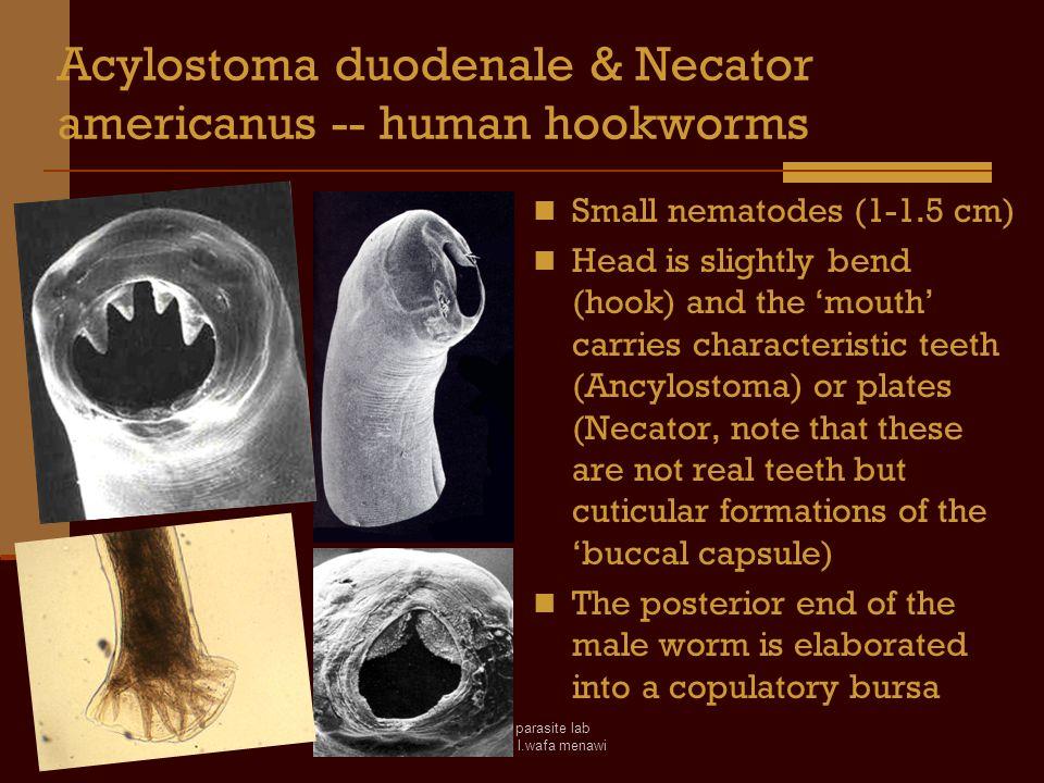 Acylostoma duodenale & Necator americanus -- human hookworms