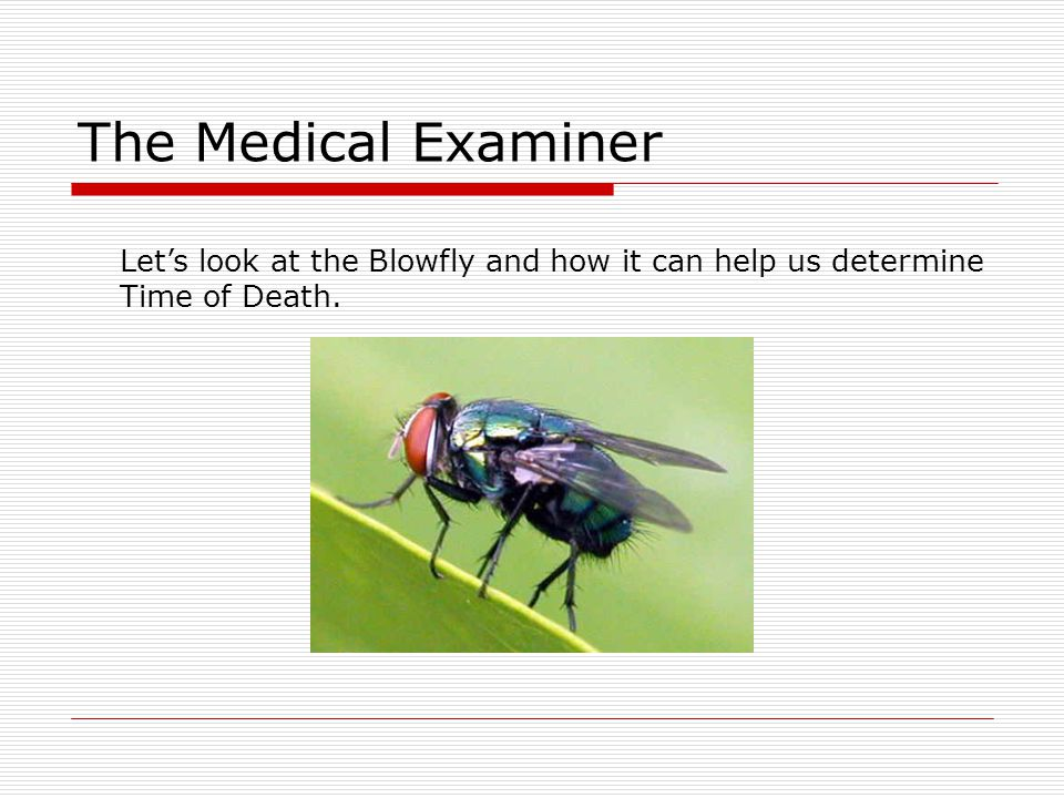 The Medical Examiner Let's look at the Blowfly and how it can help us determine Time of Death.