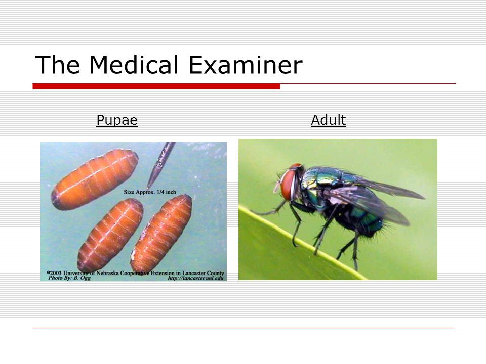 The Medical Examiner Pupae Adult