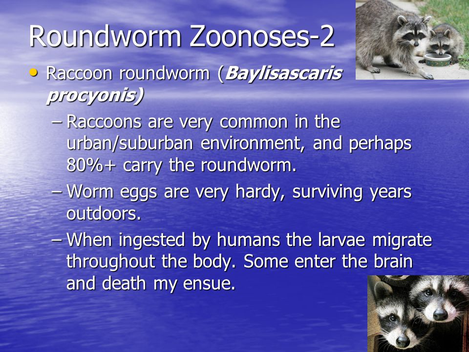 Roundworm Zoonoses-2 Raccoon roundworm (Baylisascaris procyonis)