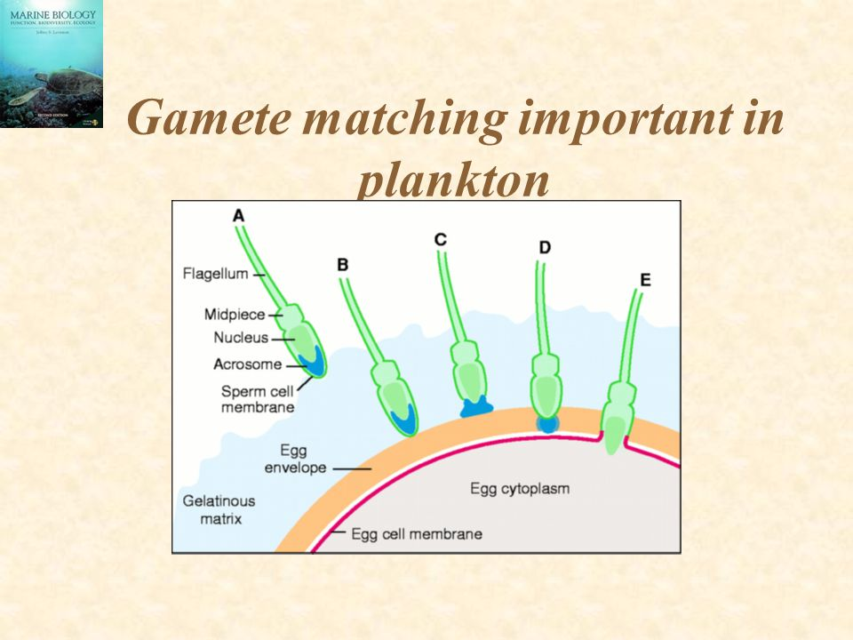 Gamete matching important in plankton