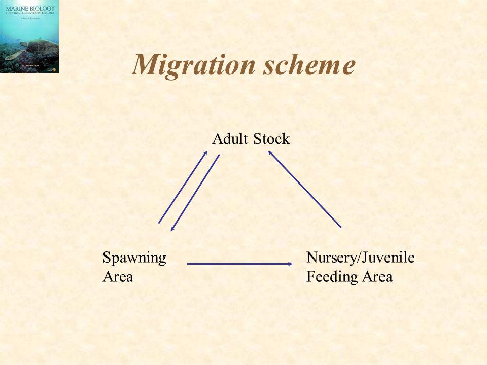 Migration scheme Adult Stock Spawning Area Nursery/Juvenile