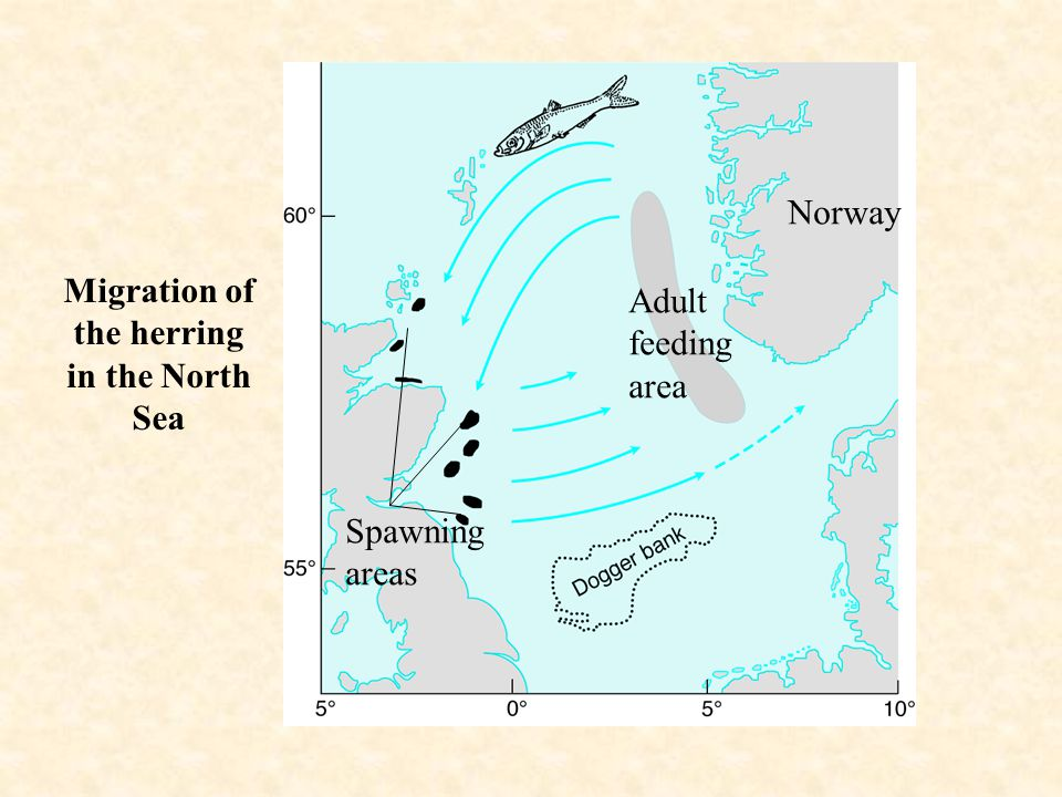 Norway Migration of the herring in the North Sea Adult feeding area Spawning areas
