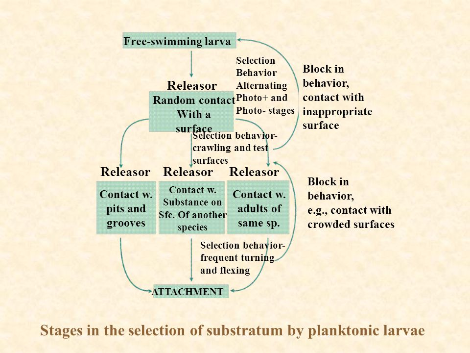 Stages in the selection of substratum by planktonic larvae