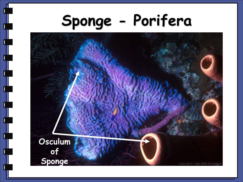 Sponge - Porifera Osculum of Sponge