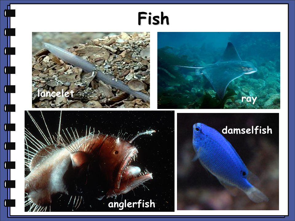 Fish lancelet ray damselfish anglerfish