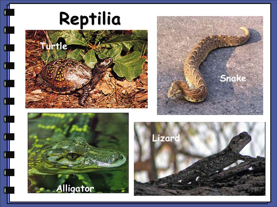 Reptilia Turtle Snake Lizard Alligator