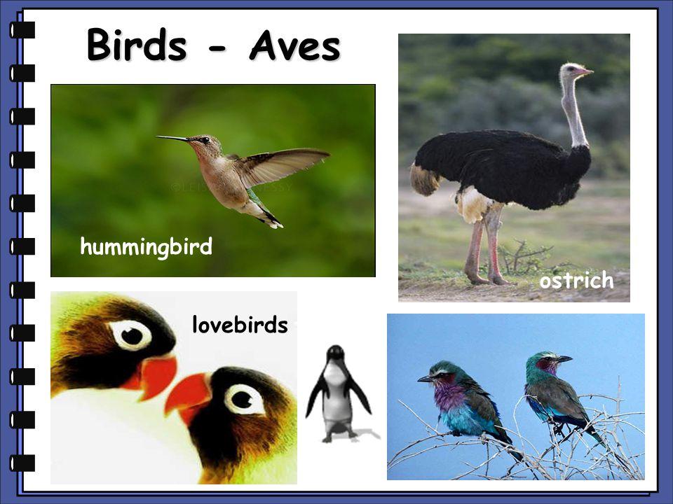 Birds - Aves hummingbird ostrich lovebirds