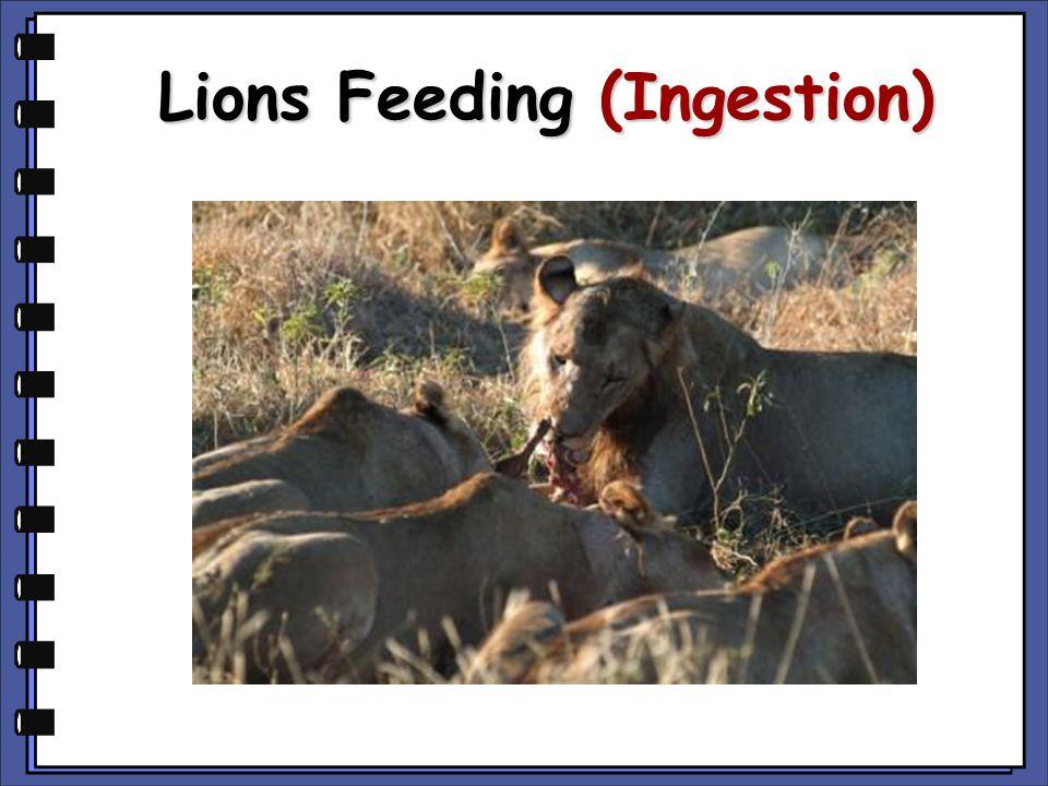Lions Feeding (Ingestion)