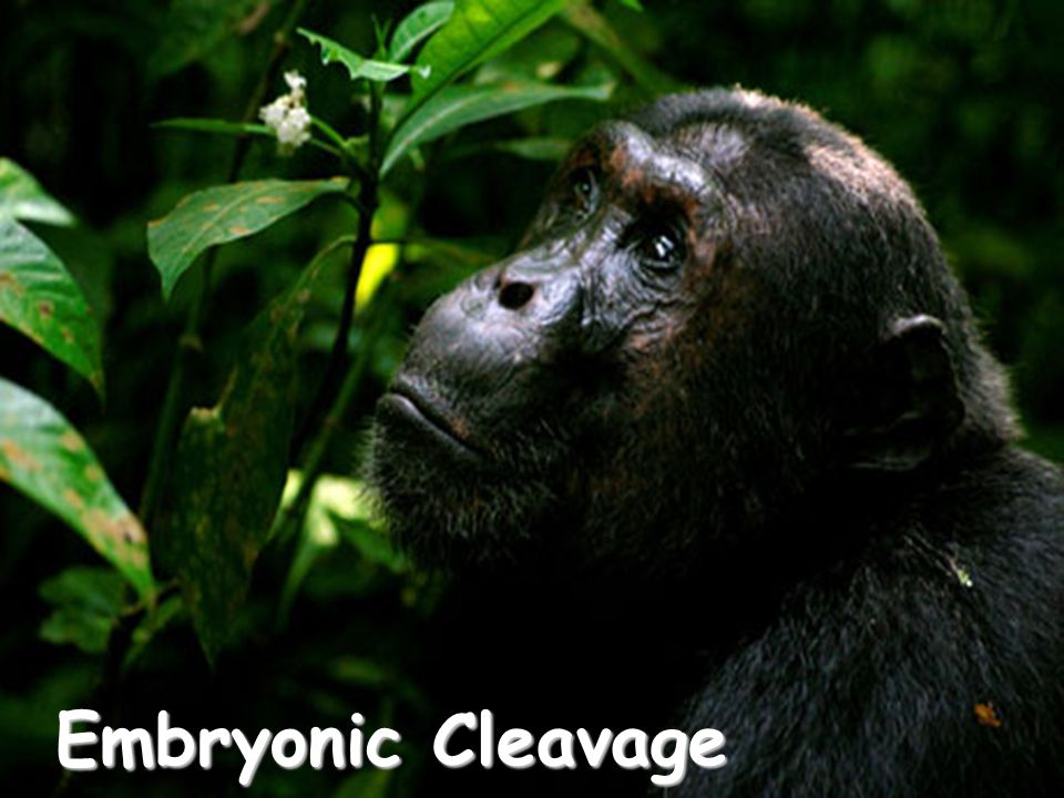 Embryonic Cleavage