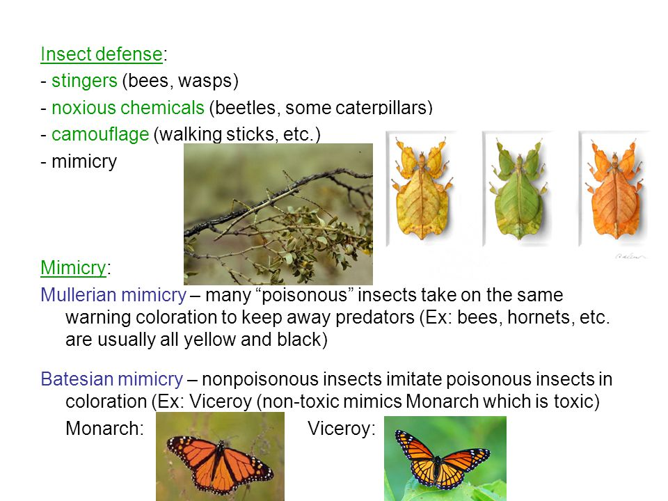Insect defense: - stingers (bees, wasps) - noxious chemicals (beetles, some caterpillars) - camouflage (walking sticks, etc.)