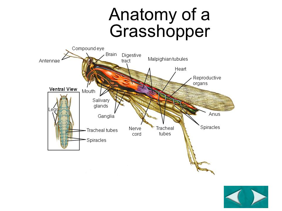 Anatomy of a Grasshopper