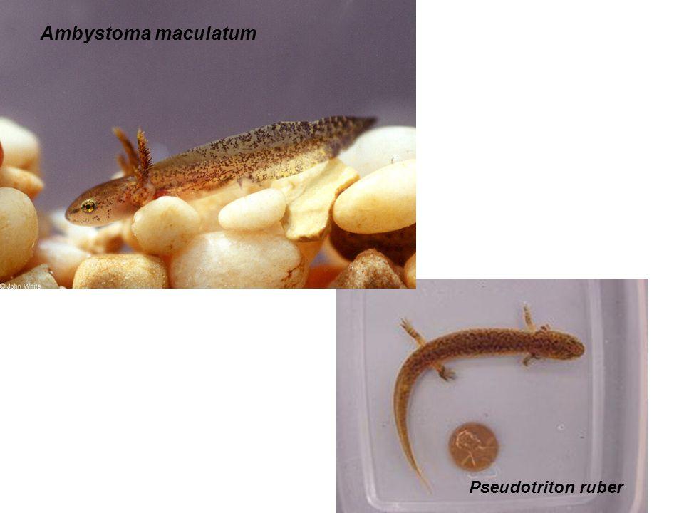 Ambystoma maculatum Pseudotriton ruber