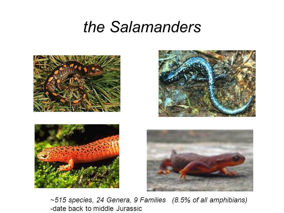 the Salamanders ~515 species, 24 Genera, 9 Families (8.5% of all amphibians) -date back to middle Jurassic.